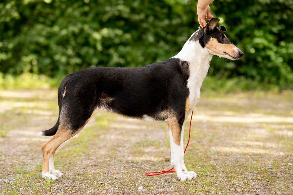 Sileäkarvainen collie, Clingstone's Key To Fame